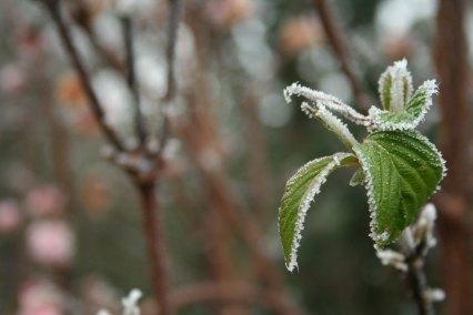frostplant